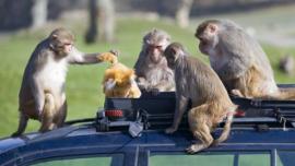 每天1000人被猴咬伤,这个国家花大钱开发AI,为猴子实行计划生育